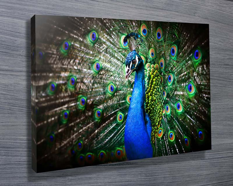 Amazing Peacock Stretched Canvas Print