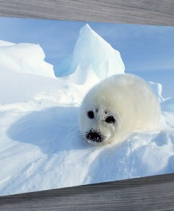 Baby Harp Seal Wall Art Canvas Print
