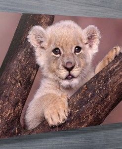 Lion-Cub-wall-art-canvas-print
