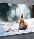Red-Squirrel-Wall-Art-Canvas-Prints