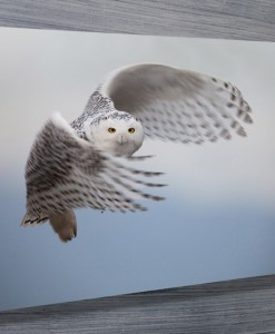 Swooping-owl-wall-art-canvas-print